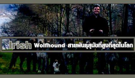 Irish Wolfhound สายพันธุ์สุนัขที่สูงที่สุดในโลก