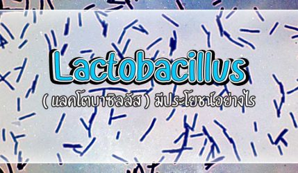 Lactobacillus ( แลคโตบาซิลลัส ) มีประโยชน์อย่างไร